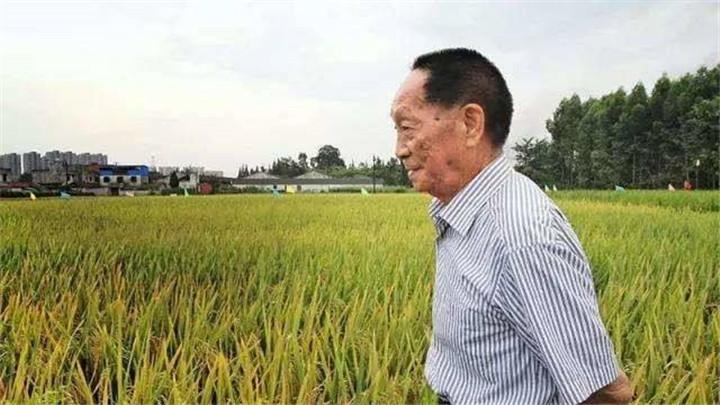 """袁隆平团队迪拜沙漠种植""""海水稻""""成功 最高亩产超五百公斤"""