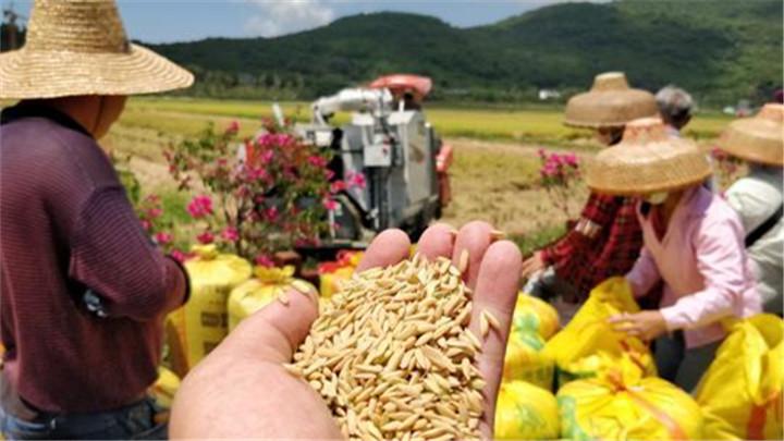 """袁隆平""""水稻仪仗队""""迎丰收!亩单产超千公斤"""
