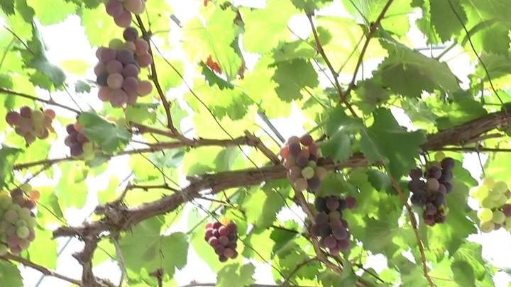 长沙本地葡萄进入采摘旺季