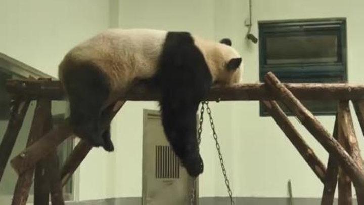 """去年""""怀疑人生""""的网红大熊猫被热出新姿势:热得想把自己烤了"""