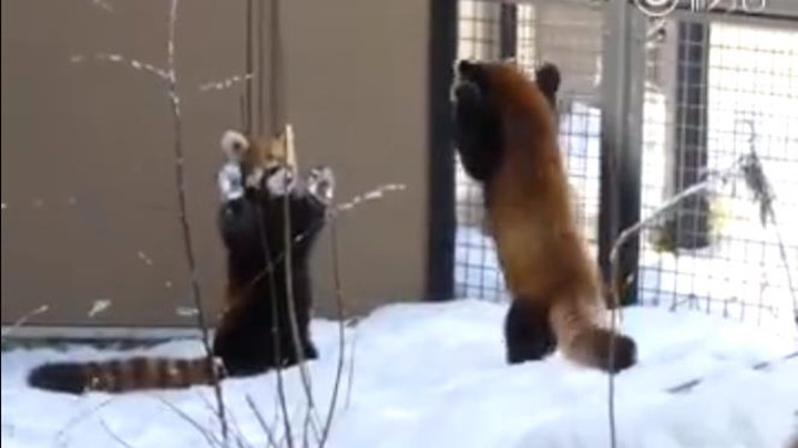看我萌死你!两只小熊猫打架~