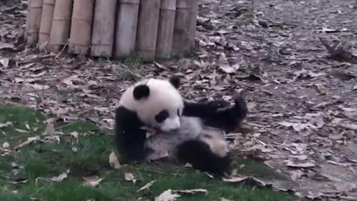 我们熊猫,向来不用走的