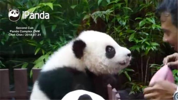 """奶爸表演""""大变活人"""" 熊猫宝宝实力捧场"""
