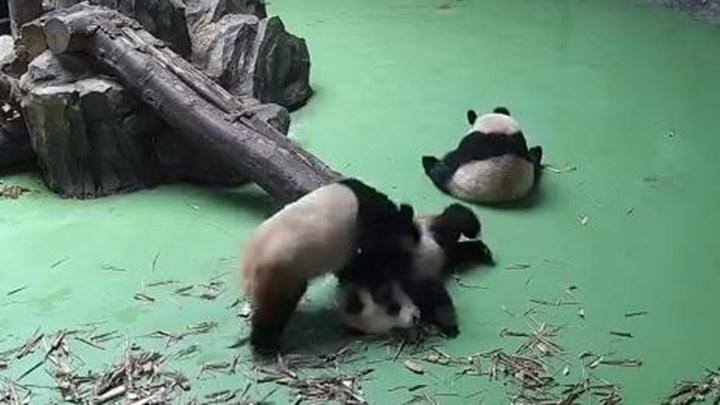"""大熊猫超速""""飙车"""",撞熊肇事"""
