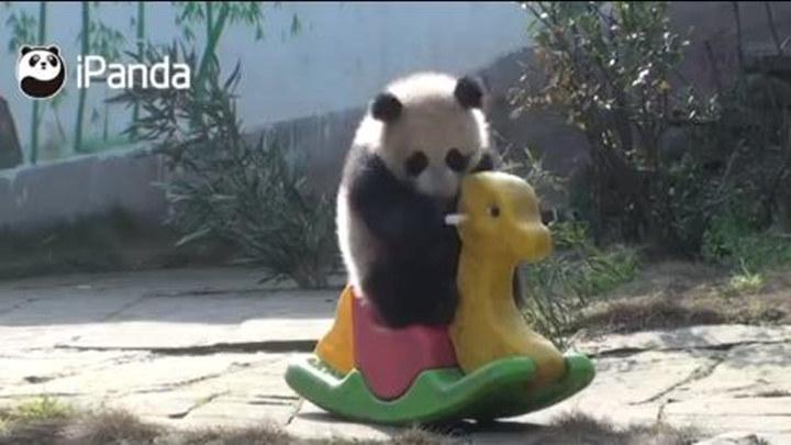 熊猫宝宝都是骑马上学的