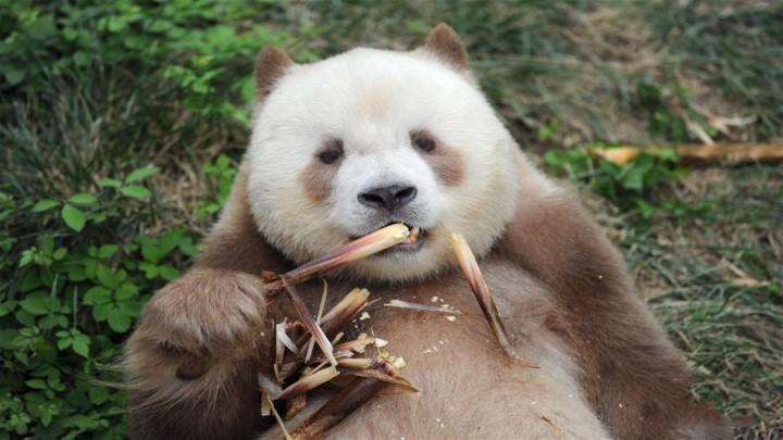 """秦岭棕色大熊猫:""""弃仔""""到""""七仔"""" 命运大不同"""