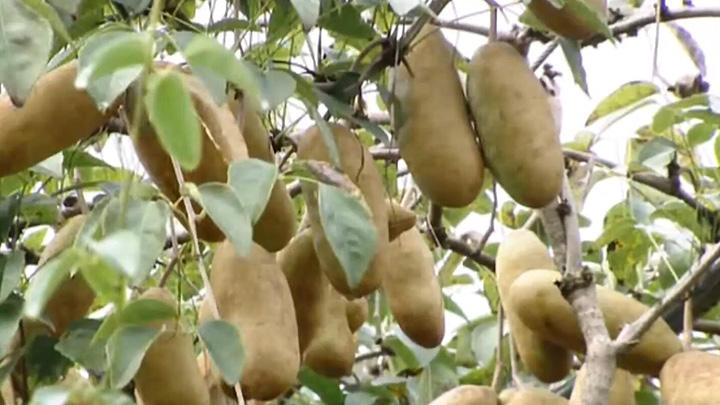 """乡村新发现丨野生水果""""八月炸""""在长沙成功驯化"""