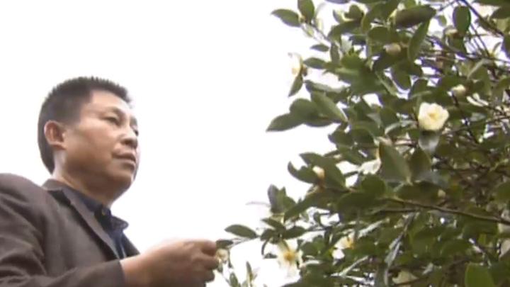 浏阳镇头:10万亩茶林打造亿元油茶产业