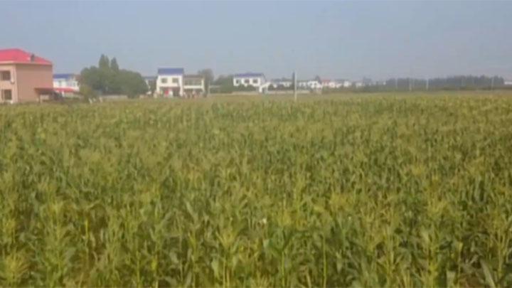乡里新鲜货丨望城:绿色生态的水果玉米 深受市民青睐
