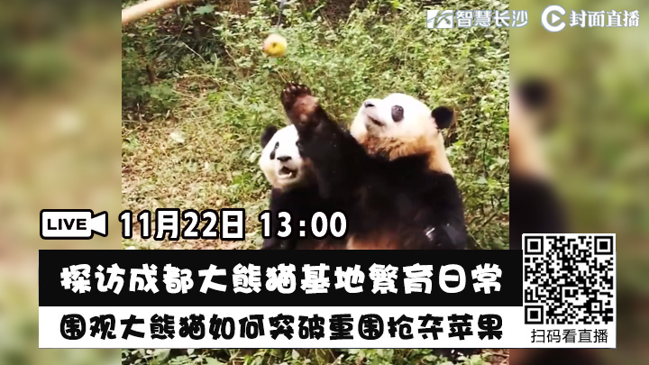 直播回看:都大熊猫基地繁育日常,围观大熊猫如何突破重围抢夺苹果