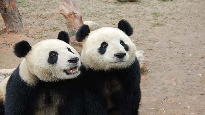 国宝有绝活:中美科学家发现大熊猫牙齿能自我再生