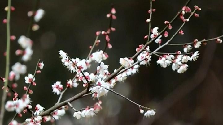 长沙县北山镇200亩梅林春节进入盛花期