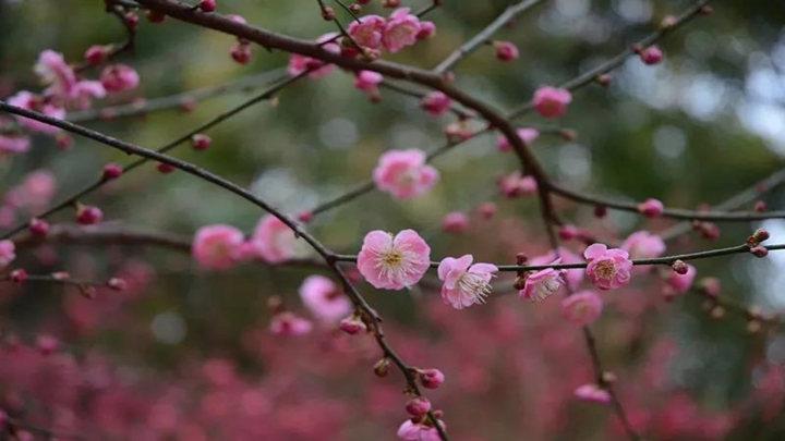 梅花、樱花、茶花……长沙这些地方已花团锦簇,快去赏花拍照啦!
