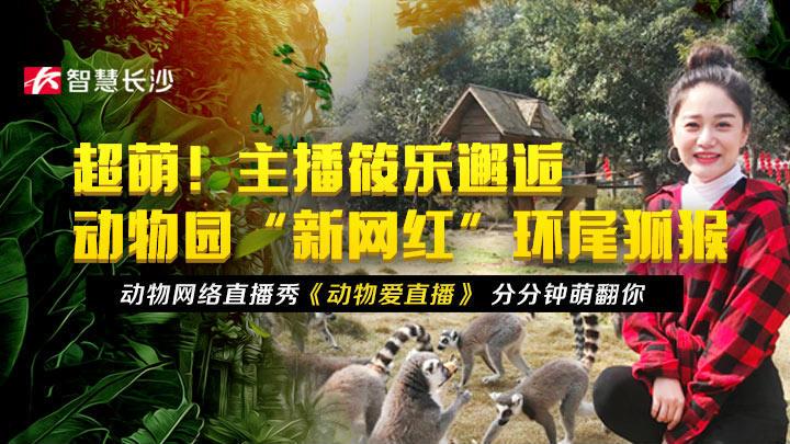 """回看丨超萌!主播筱乐邂逅动物园""""新网红""""环尾狐猴"""