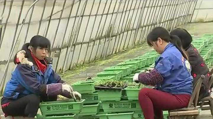 种植户抢时移栽蔬菜苗 确保蔬菜正常供应