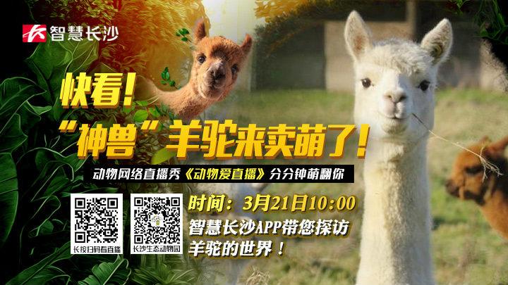 """直播回看:快看,""""神兽""""羊驼来卖萌了!"""