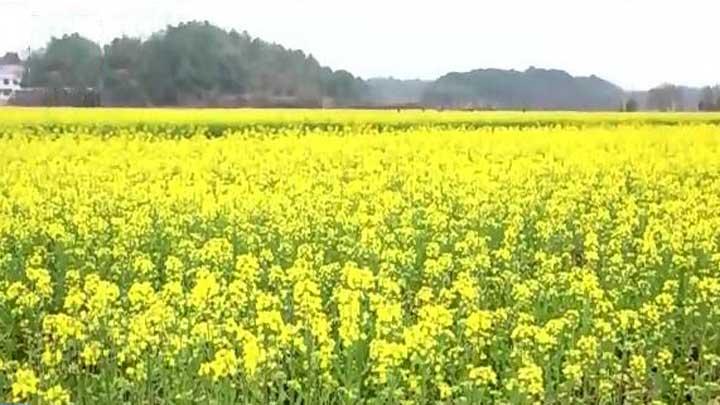江背镇:花海经济为农户增收
