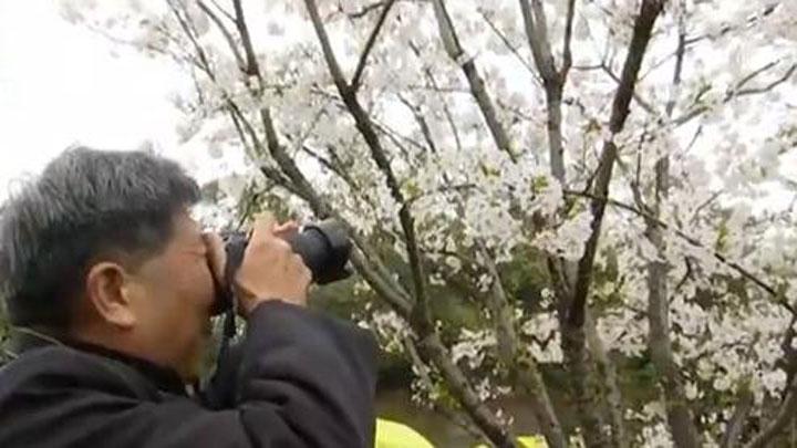 长沙县:浔龙河樱花开了 周末进入最佳观赏期