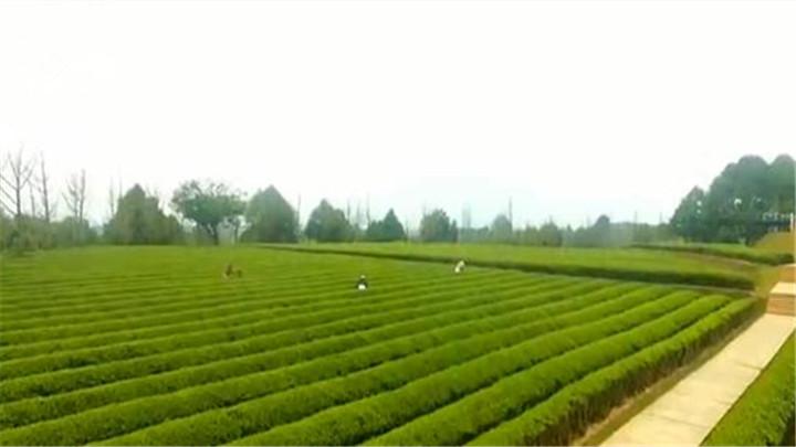 长沙县:做好绿茶全产业链发展文章