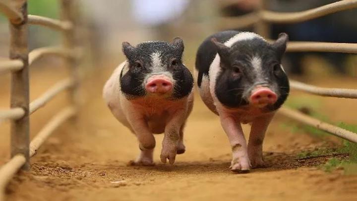 猪肉最新消息!又涨了:涨了多少、为啥会涨、还会涨吗...
