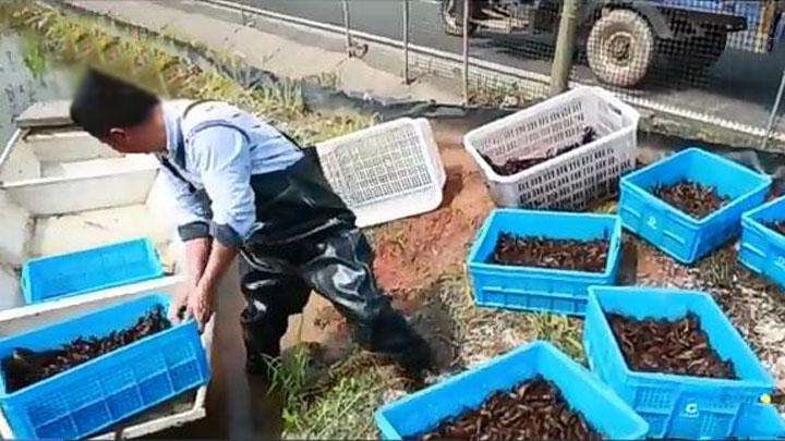 望城茶亭镇:鲜美龙虾早上市 农业调整见成效