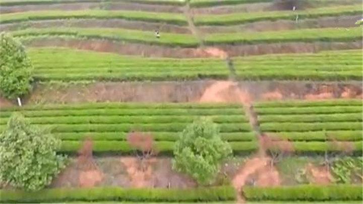 奋斗新时代 最美劳动者:以茶产业发展促茶乡脱贫