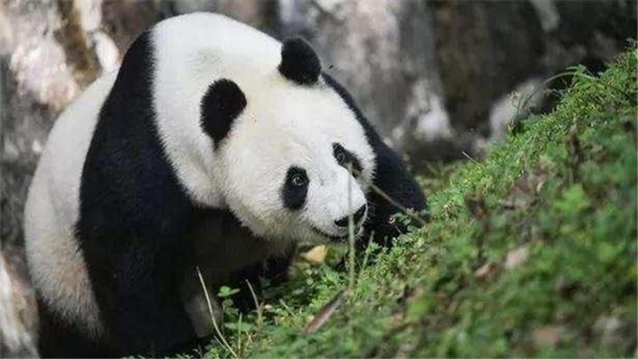中国此时让大熊猫回国,美国人:不要走啊!