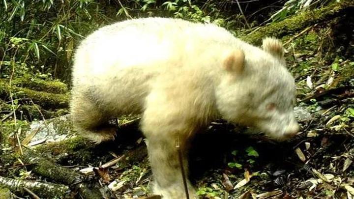全球首例!卧龙发现白色大熊猫!网友:这下连黑白照片都拍不到了