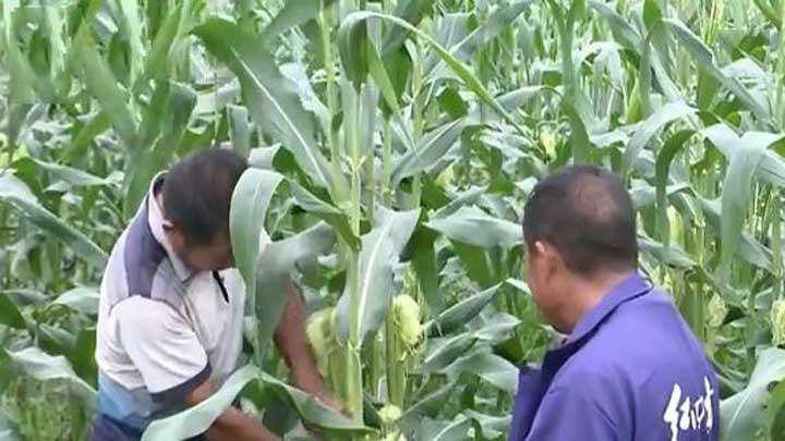 望城:暴雨过后 蔬菜基地农民忙补救