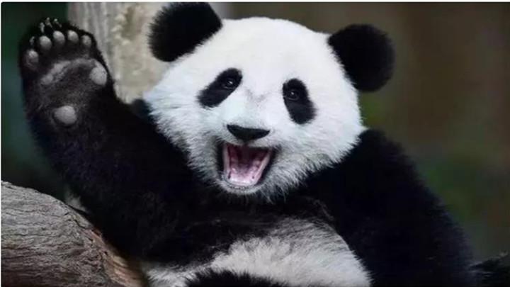 大熊猫暖暖2年前因嘴太挑被提前退回中国?只是合同到期