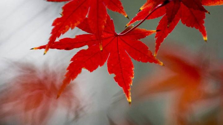 岳麓山的枫叶红了,大批游客来拍照,还有更多红叶将在下个月出现