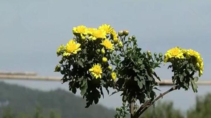 下周六去岳麓山赏菊 近400种菊花盛开 一展别致风采