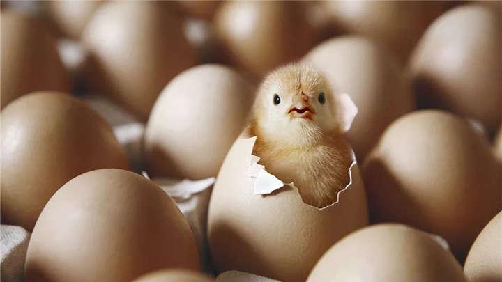 先有鸡还是先有蛋,有答案了?